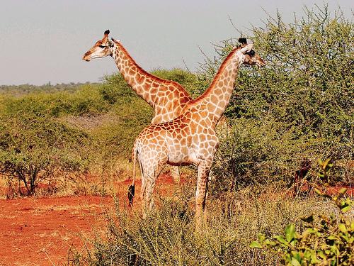 l-afrique-j-adore-et-jaime-les-girafes-et-les-elephants