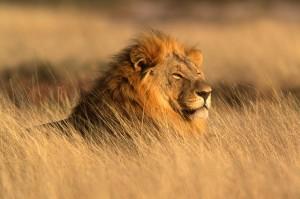 lion-d-afrique